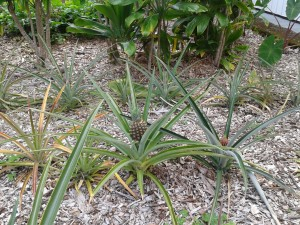 Pineapple plants at Nawahi