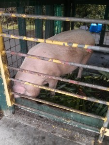 A pig, raised on the school grounds.